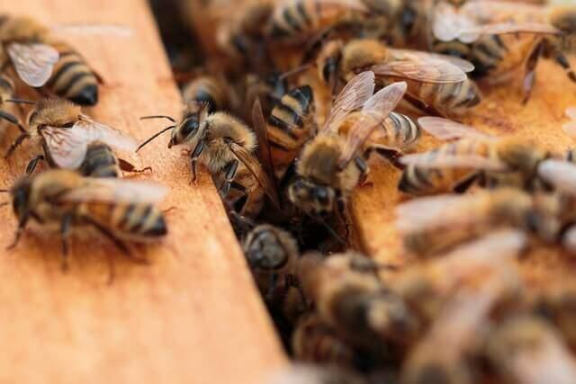 Buckfastbiene in Dadantbeute