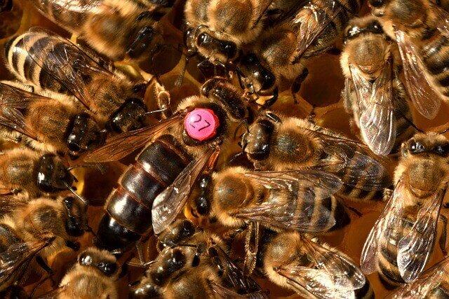 gut sichtbare Bienenkönigin