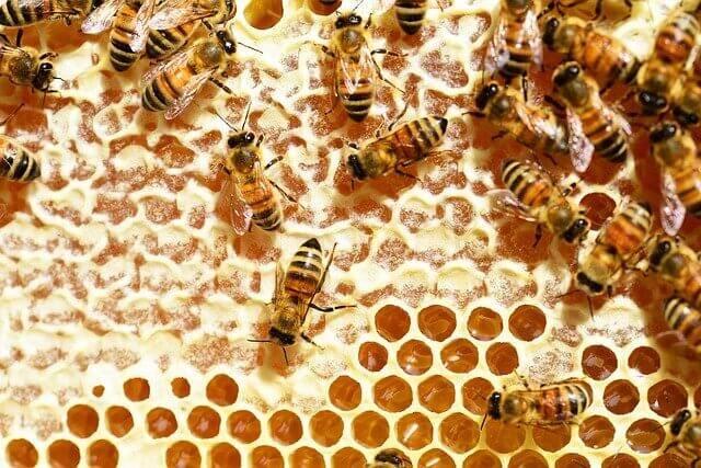 Honigwabe mit Arbeiterinnen